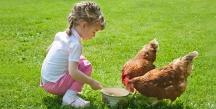 henfeeding